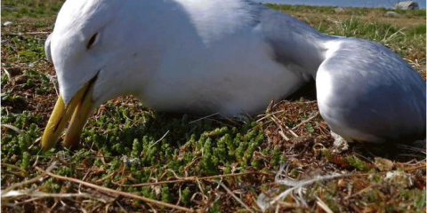 Fågeldöden i skärgården
