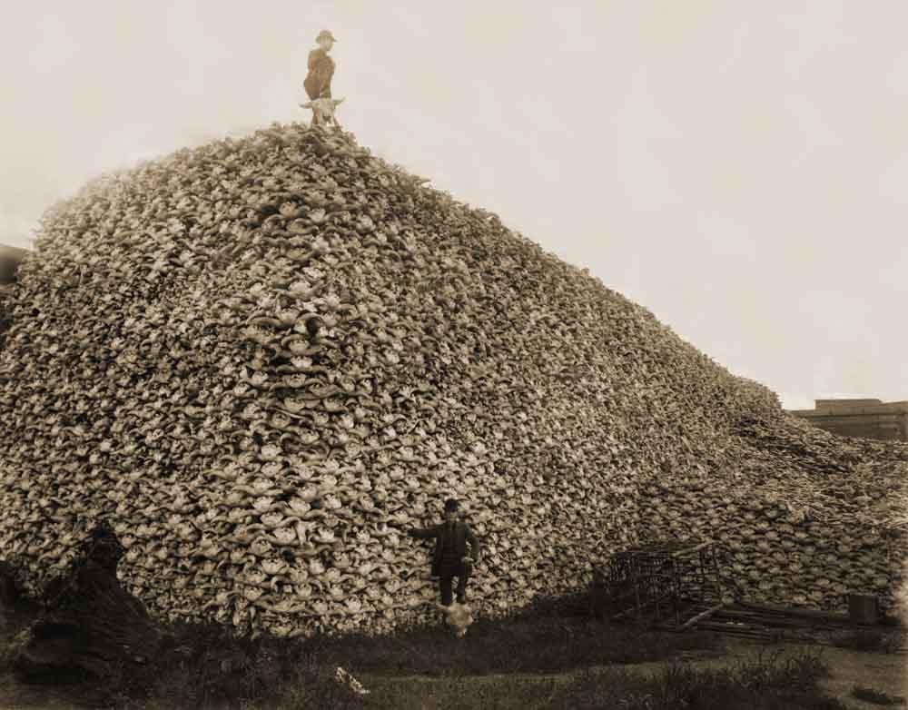 Det fanns cirka 60 miljoner bisonoxar innan vilda västern skulle tämjas. I slutet av 1800-talet levde djuret på randen till utrotning och det var främst pälsen som drev jakten. Ofta lämnade kötte kvar att ruttna men ibland, som här på bilden samlades skelettdelar in för att användas som gödningsmedel. Foto: Burton Historical Collection, Detroit Public Library